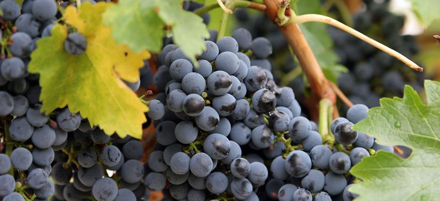 Рецепт приготовления браги из винограда для чачи в домашних условиях