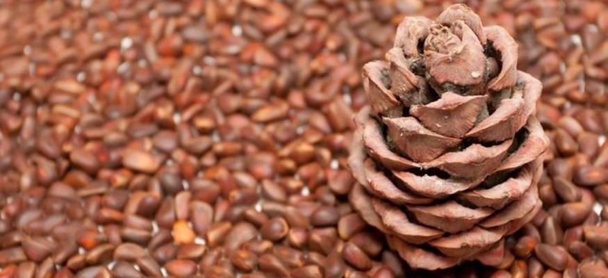 Настойка из кедровых орехов на водке применение от каких болезней