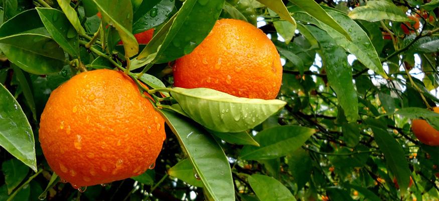 Рецепт настойки из апельсинов