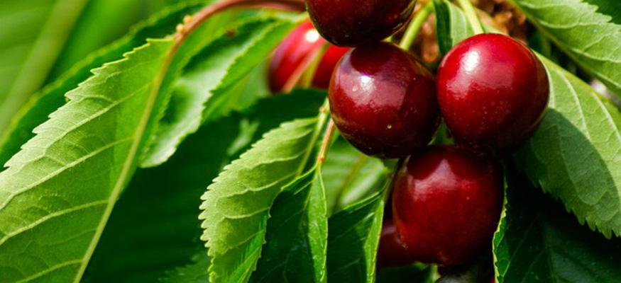 Рецепт приготовления настойки на вишневых листьях на водке (спирту, самогоне)